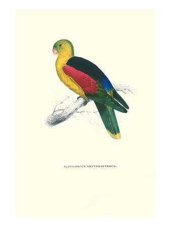 https://imgc.artprintimages.com/img/print/crimson-winged-parakeet-aprosmictus-erythropterus_u-l-pgg39u0.jpg?p=0