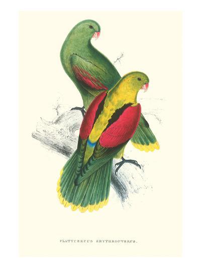 Crimson Winged Parakeet - Aprosmictus Erythropterus-Edward Lear-Art Print