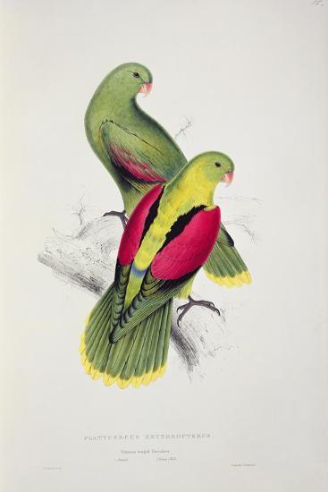 Crimson-Winged Parakeet-Edward Lear-Giclee Print