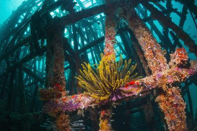 Crinoid (Crinoidea) on Artificial Reef. Mabul, Malaysia-Georgette Douwma-Photographic Print