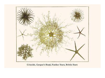 Crinoids, Gorgon's Head, Feather Stars, Brittle Stars-Albertus Seba-Art Print