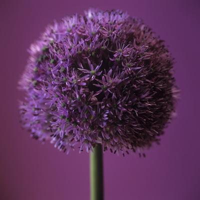 Allium Flower (Allium Sp.)