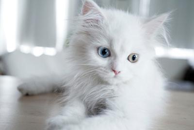 Kitty Blue