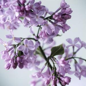 Lilac (Syringa Vulgaris) by Cristina