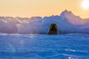 A Female Harp Seal Swims at the Iles De La Madeleine in the Gulf of Saint Lawrence by Cristina Mittermeier