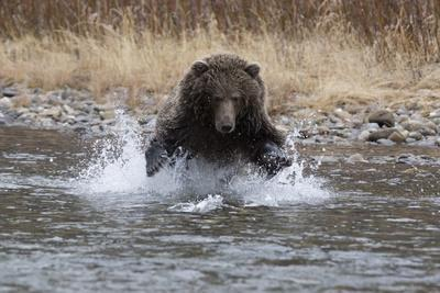 A Grizzly Bear Charges a Chum Salmon in the Fishing Branch River