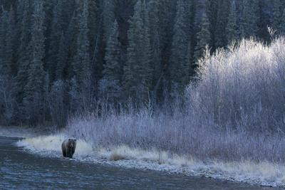 A Grizzly Bear Fishes at the Fishing Branch River
