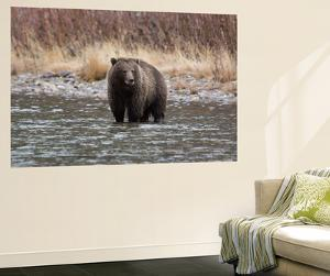 A Grizzly Bear Fishes at the Fishing Branch River by Cristina Mittermeier