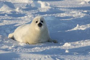 A Harp Seal Pup Rests at the Iles De La Madeleine in the Gulf of Saint Lawrence by Cristina Mittermeier