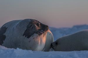 A Mother Harp Seal Nurses Her Pup by Cristina Mittermeier