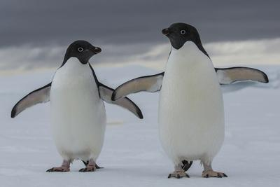 A Pair of Adelie Penguin, Pygoscelis Adeliae, in the South Shetland Islands