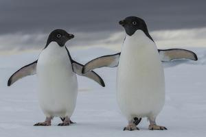 A Pair of Adelie Penguin, Pygoscelis Adeliae, in the South Shetland Islands by Cristina Mittermeier