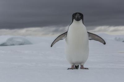 An Adelie Penguin, Pygoscelis Adeliae, on the Antarctic Peninsula by Cristina Mittermeier