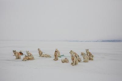 Greenlandic Husky Dogs Resting on the Sea Ice