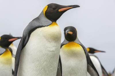 King Penguins, Aptenodytes Patagonicus, on Salisbury Plain by Cristina Mittermeier