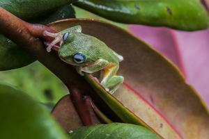 Poppy's Frog, Philotus Poppiae, from the Remanant Patches of Sinharaja Forest Reserve by Cristina Mittermeier