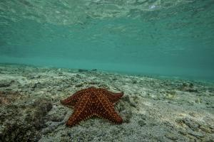 Sea Star in the Shallow Waters Off the Mosquitia Reef by Cristina Mittermeier