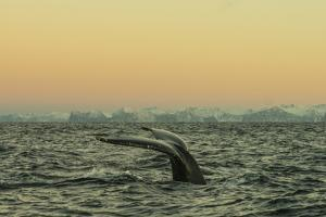 The Flukes of a Whale Swimming in Waters Off Lofoten Archipelago by Cristina Mittermeier