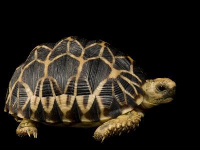 Critically Endangered Burmese Star Tortoise-Joel Sartore-Photographic Print