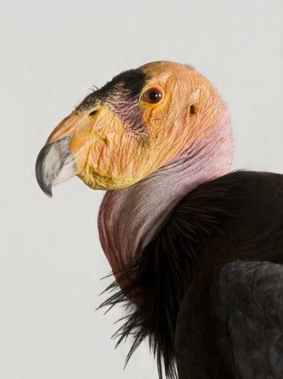 Critically Endangered California Condor, Gymnogyps Californianus-Joel Sartore-Photographic Print