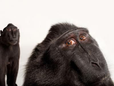 Critically Endangered Celebes Crested Macaques, Macaca Nigra, at the Henry Doorly Zoo-Joel Sartore-Photographic Print