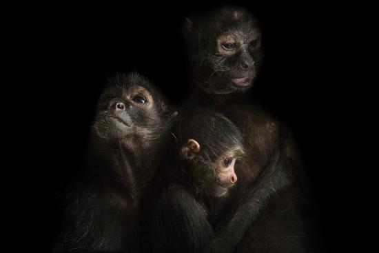Critically Endangered Robust Black Spider Monkeys, Ateles Fusciceps Robustus-Joel Sartore-Photographic Print