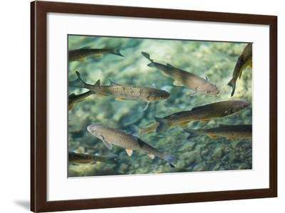Croatia, National Park Plitvice, Fish, Waters, Clearly-Rainer Mirau-Framed Photographic Print