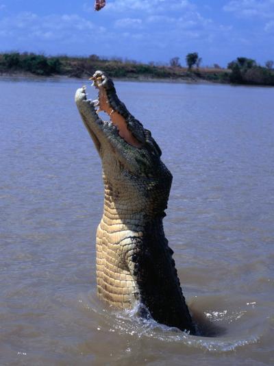 Crocodile (Crocodylidae Crocodilia) Jumping for Food on Adelaide River, Australia-Mitch Reardon-Photographic Print