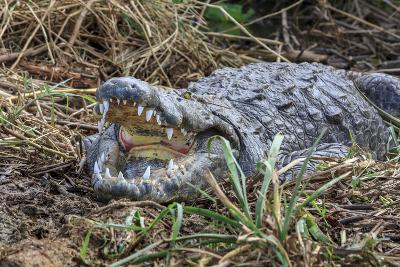 Crocodile Venting His Teeth. Lake Chamo. Ethiopia, Africa-Tom Norring-Photographic Print