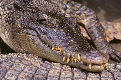 Crocodile-DLILLC-Photographic Print