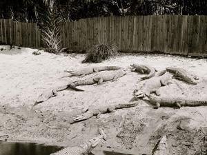 Crocodiles I.E. Alligators at Alligator Joes, Palm Beach, Fla.