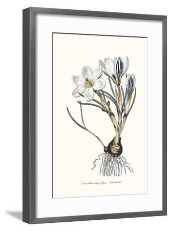 Crocus Biflorus-John Edwards-Framed Art Print