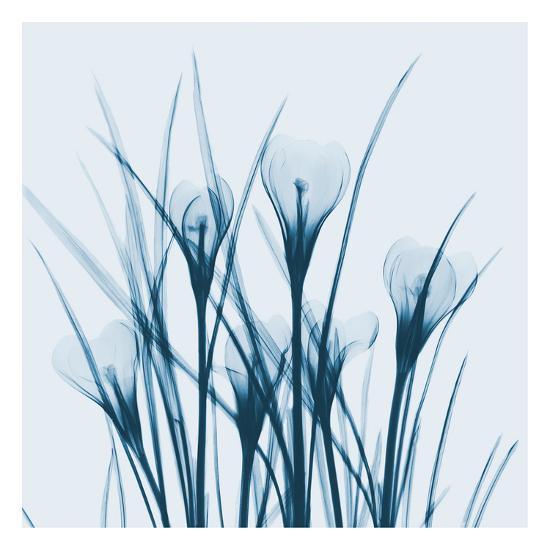 Crocus Blue-Albert Koetsier-Art Print