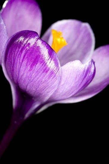 Crocus Flower (Crocus Sp.)-Lawrence Lawry-Photographic Print