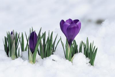 Crocus Flower In the Snow-David Aubrey-Photographic Print
