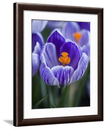 Crocus Pickwick Flower-Clive Nichols-Framed Photographic Print