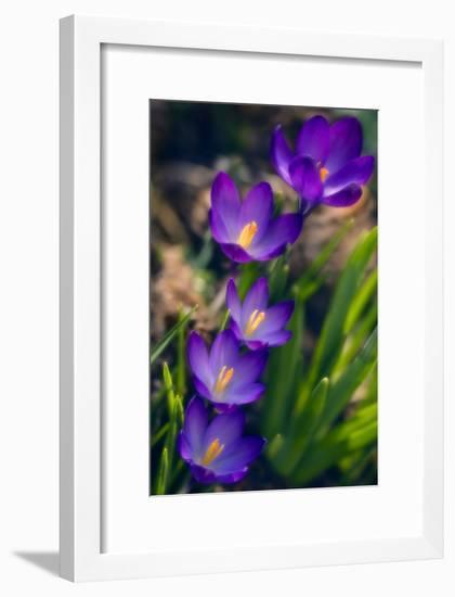 Crocuses (Crocus Vernus)-Maria Mosolova-Framed Photographic Print