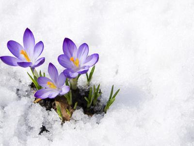 https://imgc.artprintimages.com/img/print/crocuses-in-snow_u-l-q1a4b5w0.jpg?p=0