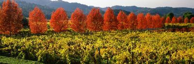 Crop in a Vineyard, Napa Valley, California, USA--Photographic Print