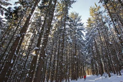 Cross-Country Skiers in a Spruce Forest, Windsor, Massachusetts-Jerry & Marcy Monkman-Photographic Print