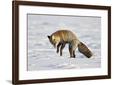 Cross Fox, Red Fox (Vulpes Vulpes) (Vulpes Fulva) Pouncing on Prey in the Snow-James Hager-Framed Photographic Print