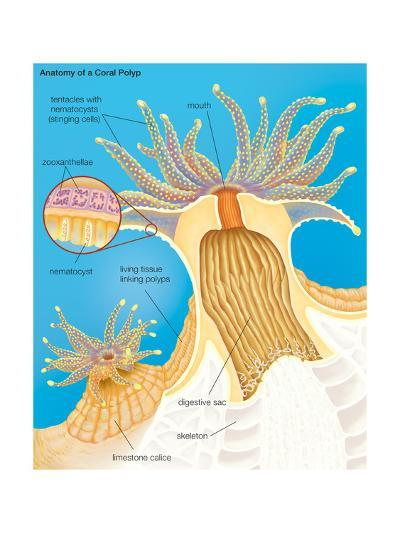 Cross Section of a Generalized Coral Polyp. Invertebrate, Cnidarians, Biology-Encyclopaedia Britannica-Art Print