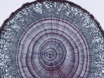 Cross-Section of Arbor Vitae Stem (Thuja), LM X9-Biodisc-Photographic Print