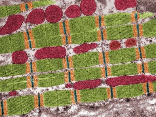 Cross-Section of Human Atrium Cardiac Muscle Sarcomeres and Mitochondria, TEM X30,400-Fred Hossler-Photographic Print