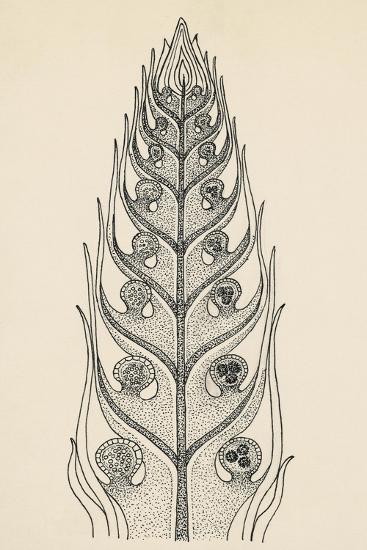 Cross-Section of Selaginella Spikemoss--Giclee Print