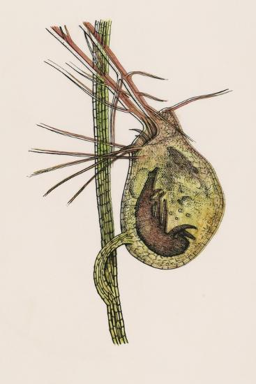 Cross-Section of the Traps of the Carnivorous Common Bladderwort Plant (Utricularia Vulgaris)--Giclee Print