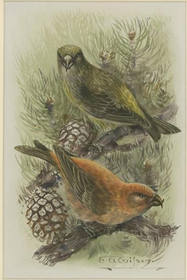 Crossbill, Illustration from 'A History of British Birds' by William Yarrell, c.1905-10-Edward Adrian Wilson-Giclee Print