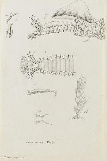 Crossostoma Midas: Marine Bristle Worm-Philip Henry Gosse-Giclee Print