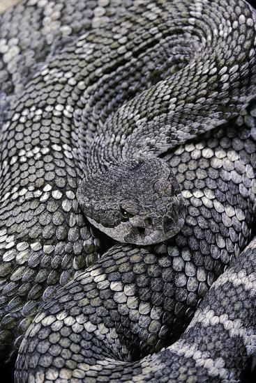 Crotalus Viridis ( Prairie Rattlesnake)-Paul Starosta-Photographic Print
