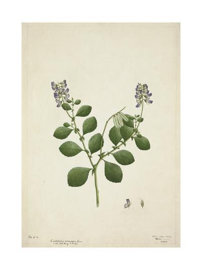 Crotolaria Verrueosa Linn, 1800-10--Giclee Print